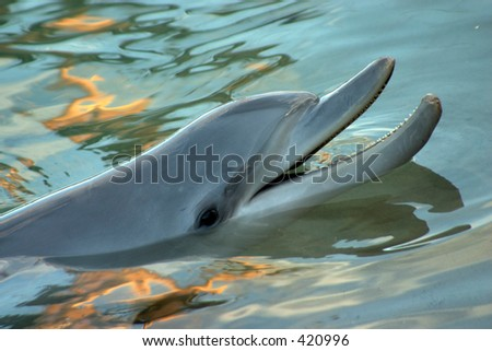 Dolphin surfacing with sunset reflecting off the water - stock photo
