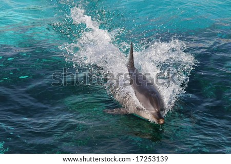 Dolphin swimming fast and breaking the surface of the water - stock photo