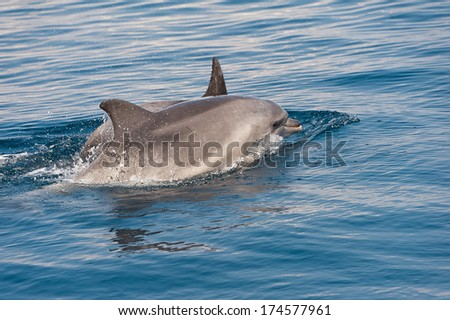 Dolphin swimming in Adriatic sea during summer yachting vacation