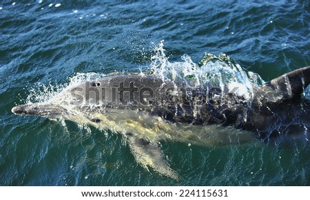 Dolphin, swimming in the ocean.  - stock photo