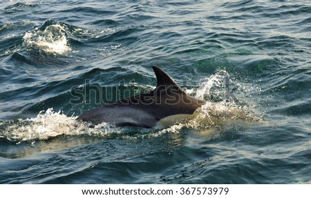 Dolphin, swimming in the ocean  and hunting for fish.. The jumping dolphin comes up from water. The Long-beaked common dolphin (scientific name: Delphinus capensis) swim in atlantic ocean.South Africa