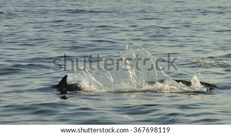 Dolphin, swimming in the ocean  and hunting for fish. The jumping dolphin comes up from water. The Long-beaked common dolphin (scientific name: Delphinus capensis) swim in atlantic ocean. South Africa - stock photo