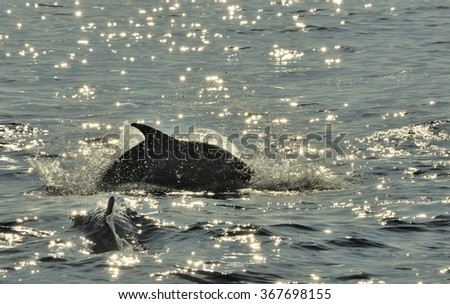 Dolphin, swimming in the ocean  and hunting for fish. The jumping dolphin comes up from water. The Long-beaked common dolphin (scientific name: Delphinus capensis) swim in atlantic ocean - stock photo