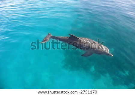 Dolphin swimming in the water of the Red Sea in Eilat, Israel..