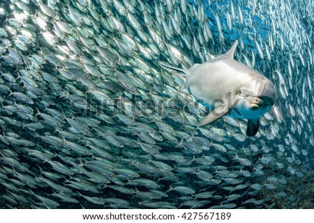 dolphin underwater on reef background looking at you inside a school of sardine fish - stock photo