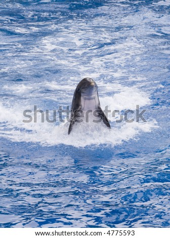Dolphin using tail to walk backwards above water