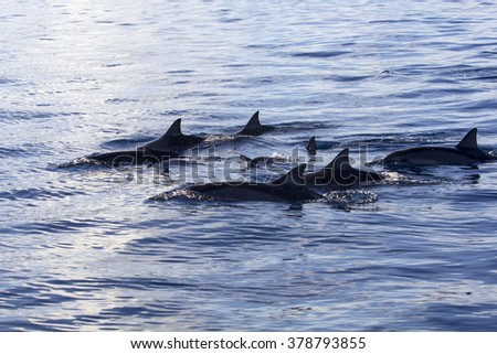 Dolphins at Black River, Mauritius - stock photo