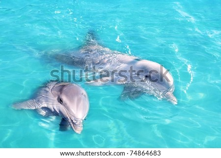 Dolphins couple swimming in blue turquoise water clean water [Photo Illustration] - stock photo