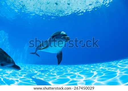 Dolphins couple swims under the water and looking at the camera - stock photo