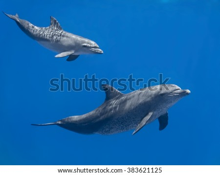 Dolphins family (baby and mother) swimming in water of the blue tropical sea - stock photo