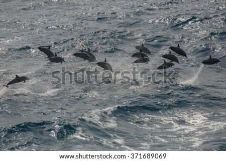 dolphins in indian ocean - stock photo