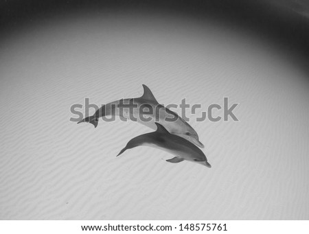Dolphins in the Bahamas - stock photo