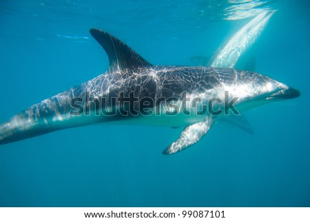 Dolphins in the sea, New Zealand - stock photo