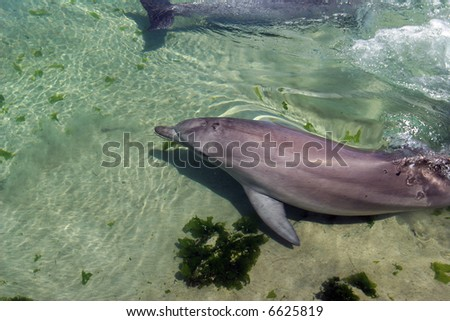 Dolphins playing in shallow water - stock photo
