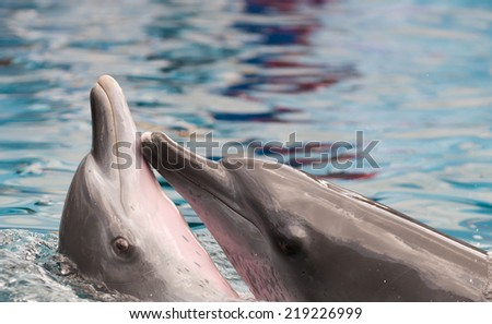 Dolphins showing their love for each other - stock photo