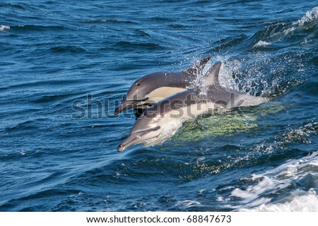 Dolphins, South Africa - stock photo
