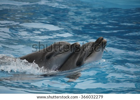 Dolphins swim in the clear blue water