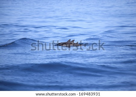 Dolphins swim in the Indian Ocean - stock photo