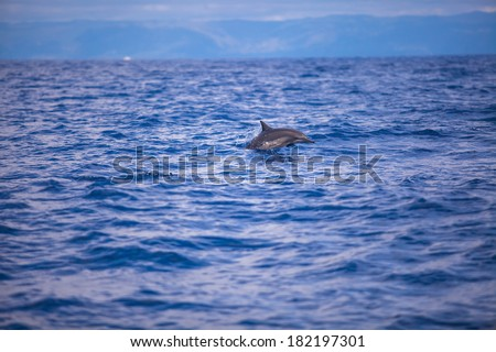 Dolphins swimming in open sea, Bohol, Philippines - stock photo