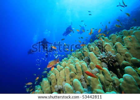 Dome Coral (Porites nodifera) and Scuba Divers