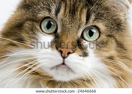 Domestic animal house cat - stock photo