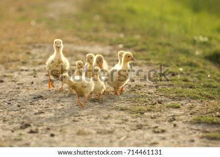 Domestic Baby Ducks Yard Stock Photo (Safe to Use) 714461131 ...