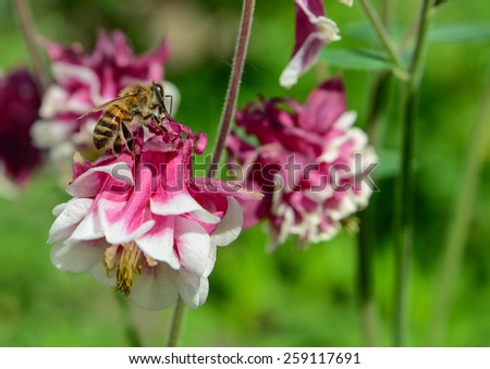 Domestic bee collects nectar from red and white delphinium flower in the garden. Focus on bee - stock photo