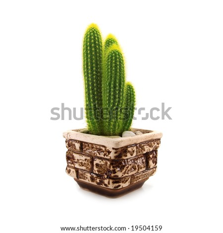 domestic cactus isolated on white - stock photo
