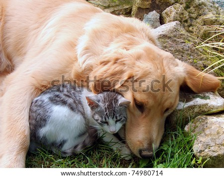 Domestic cat and golden retriever. - stock photo