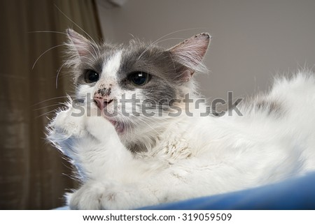Domestic Cat Grooming