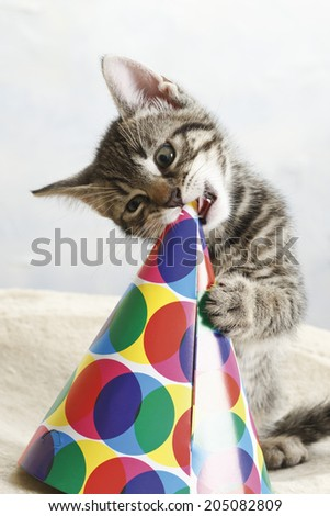 Domestic cat, kitten playing with carnival hat - stock photo