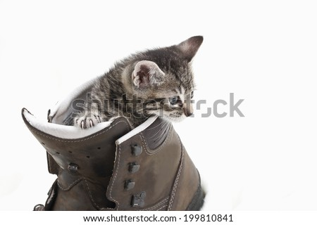 Domestic cat, kitten playing with hiking shoe - stock photo