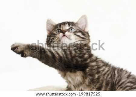 Domestic cat, kitten stretching paw