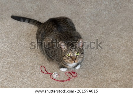 Domestic Cat Looks Up from Play - red string toy - stock photo