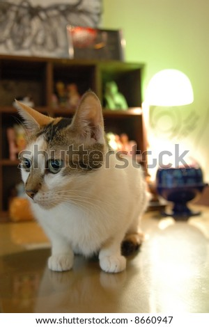 Domestic cat sitting on a table with shallow dof - stock photo