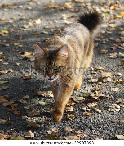 Domestic cat somali outdoor - stock photo