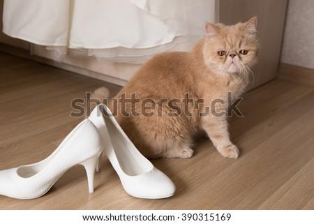 Domestic cat, wedding dress, white wedding shoes. - stock photo