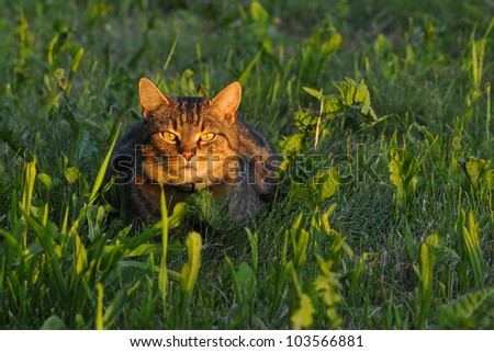 Domestic cat with the mouse hunt. - stock photo