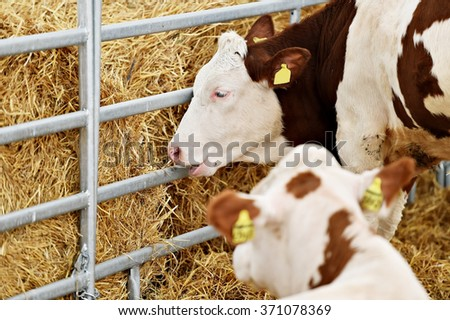 Domestic cow grazing from a hay pile inside a cow farm - stock photo