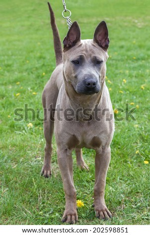 Domestic dog Rhodesian Ridgeback breed on leash. Focus on the dog muzzle, shallow depth of field