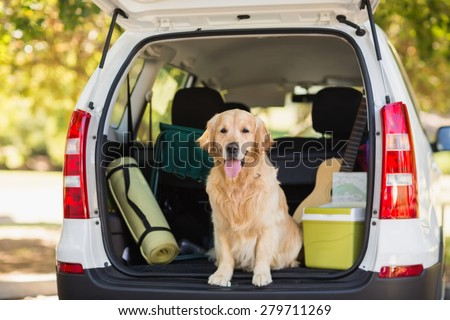 Domestic dog sitting in the car trunk - stock photo
