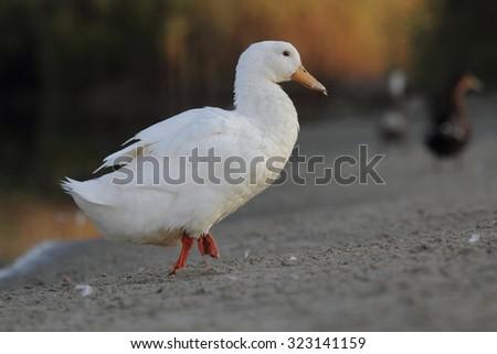Domestic Duck - stock photo