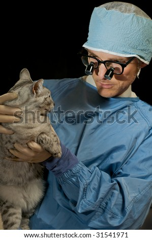 Domestic egyptian mau cat gets a check-up at the vet's office. - stock photo