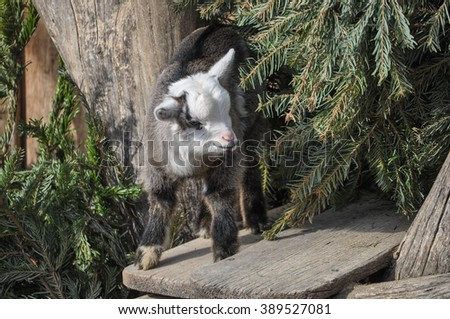 Domestic goat (Capra aegagrus hircus) mammal animal