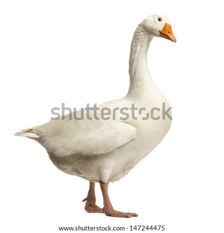 Domestic goose, Anser anser domesticus,standing and looking down, isolated on white - stock photo