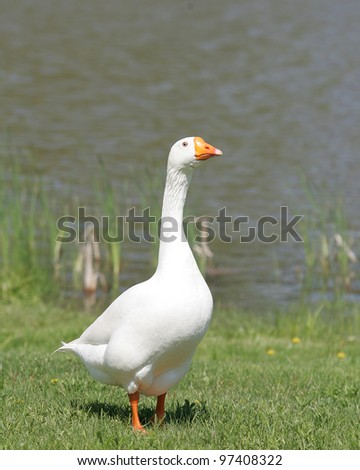 Domestic Goose (Embden goose) - stock photo