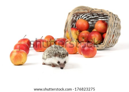 Domestic hedgehog with a basket and apples. - stock photo