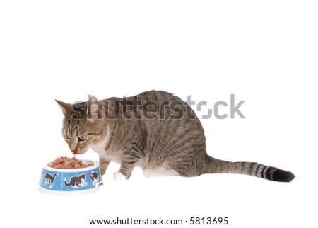 domestic house cats eating, grey young cat with food cup , white background, copy space