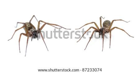 Domestic House Spider (Tegenaria domestica) in 2 positions on white - stock photo