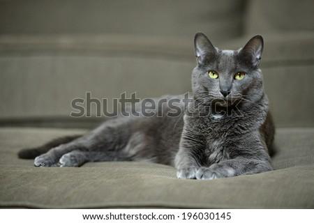 Domestic Korat cat laying on sofa - stock photo